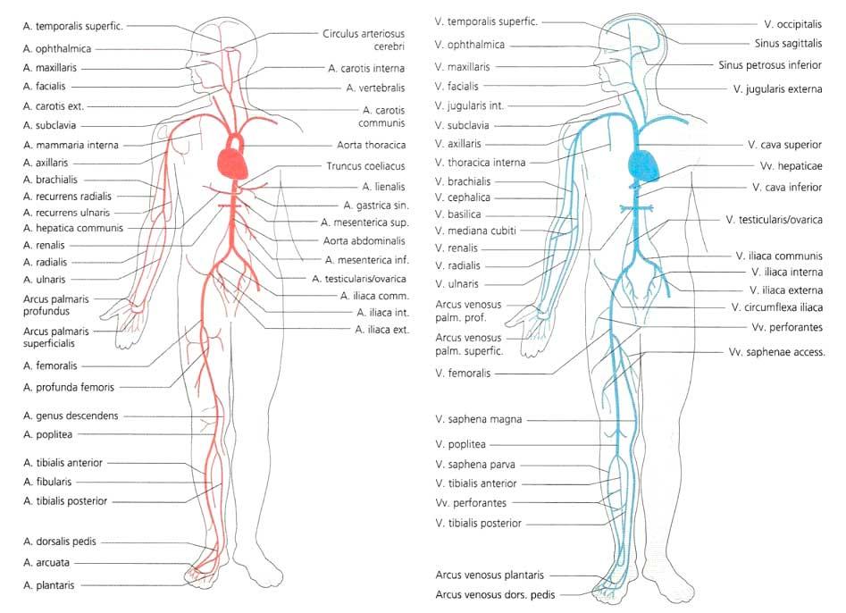 Цикорий польза и вред <b>при</b> варикозе