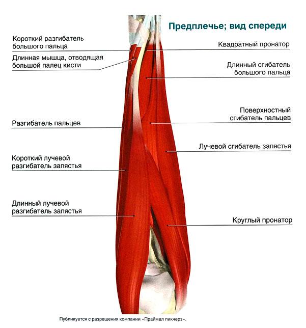 Мышцы обеспечивающие движение в лучезапястном суставе доктор комаровский видео хруст в суставах