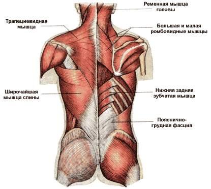 Мускулы функция