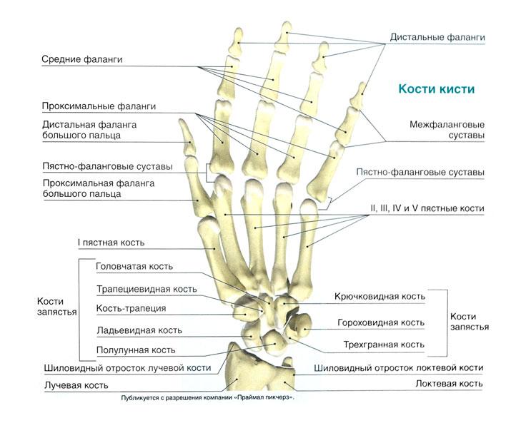 Проксимальный сустав пальца настои для суставов из мокрицы