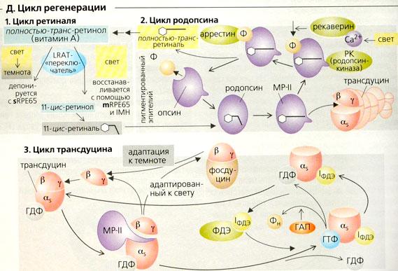 Naglydnay_fiziologiya368.jpg