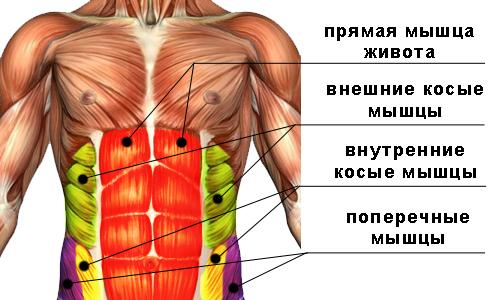 Пресс упражнения и особенности тренировки энциклопедия Анатомия мышц пресса
