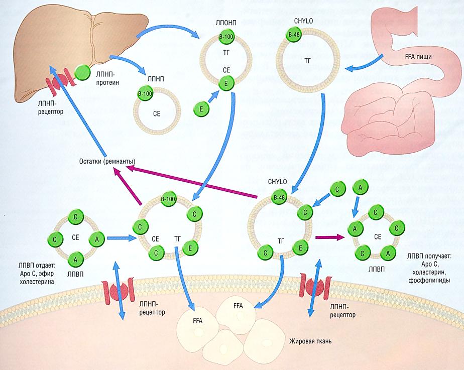 нормальный холестерин в крови мужчин