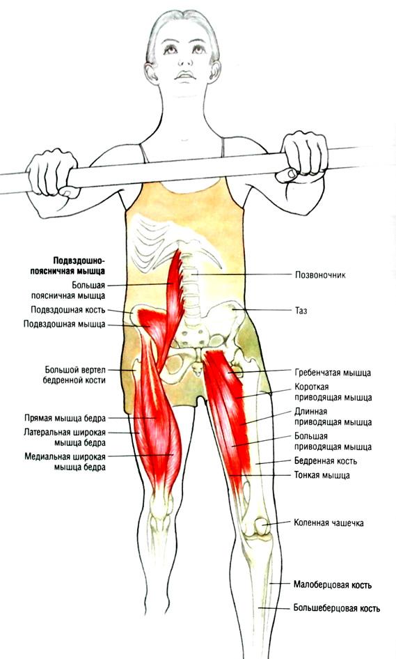 Мышца подвздошная фото