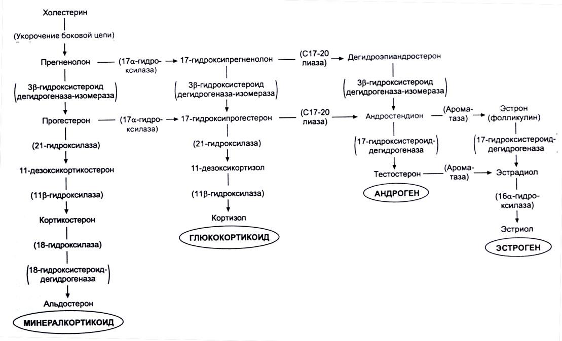 Синтез гормонов схема
