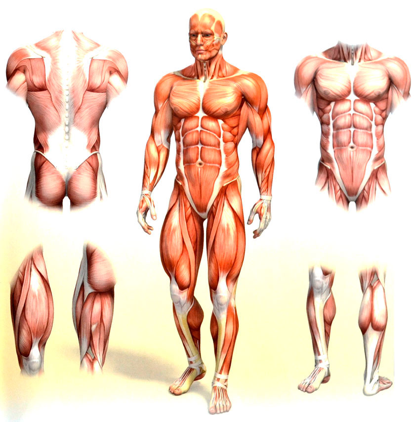 Mens muscle anatomy