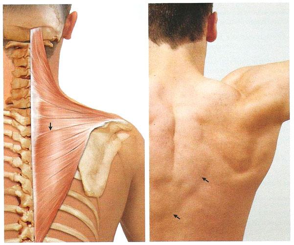 трапециевидные мышцы фото