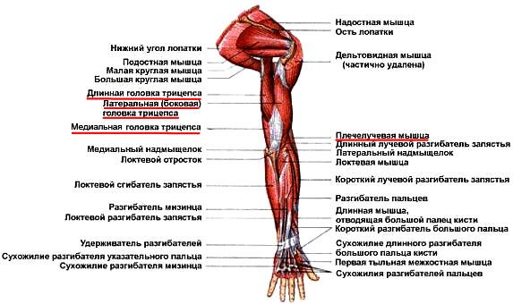 схема сухожилие трехглавой мышцы плеча
