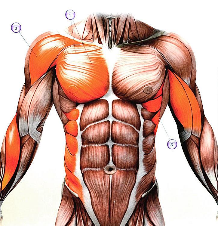 Мышцы - анатомия и функции