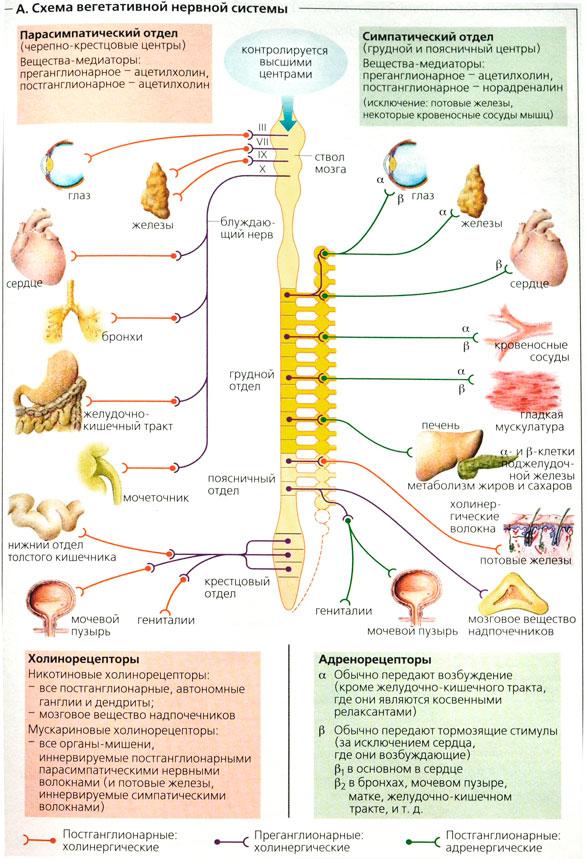 нервной системы[править]