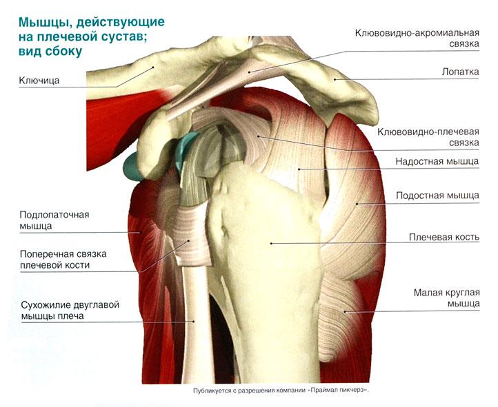 Мышечное строение плечевого сустава узи суставов в астане