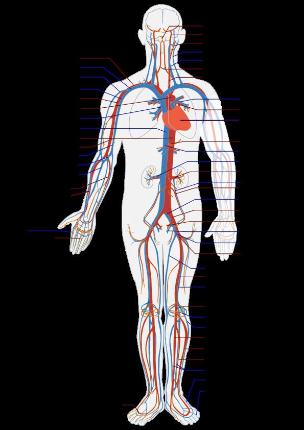 Влияние массажа на кровеносную