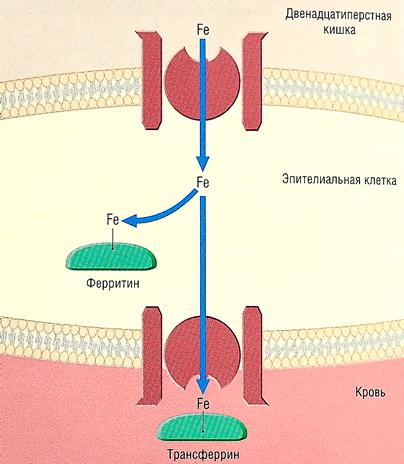 тройчатка иванченко от паразитов