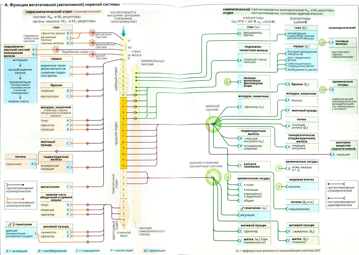 Система Нервная Вегетативная