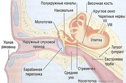 Ухо как орган слуха и