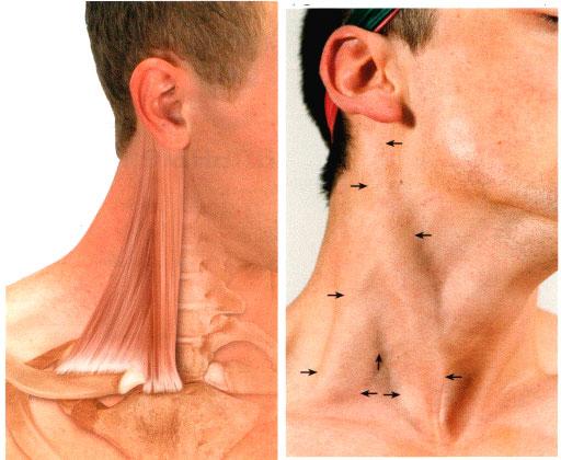 мышца грудино-ключично-сосцевидная фото