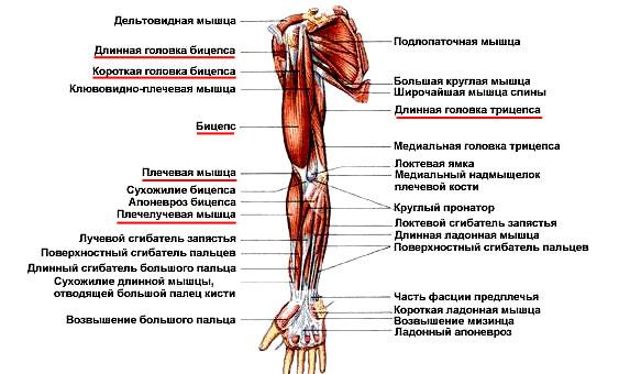 Суставы рук названия аппликатор ляпко при артрозе коленного сустава