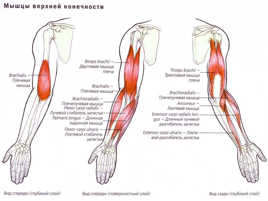 Мышца локтевая