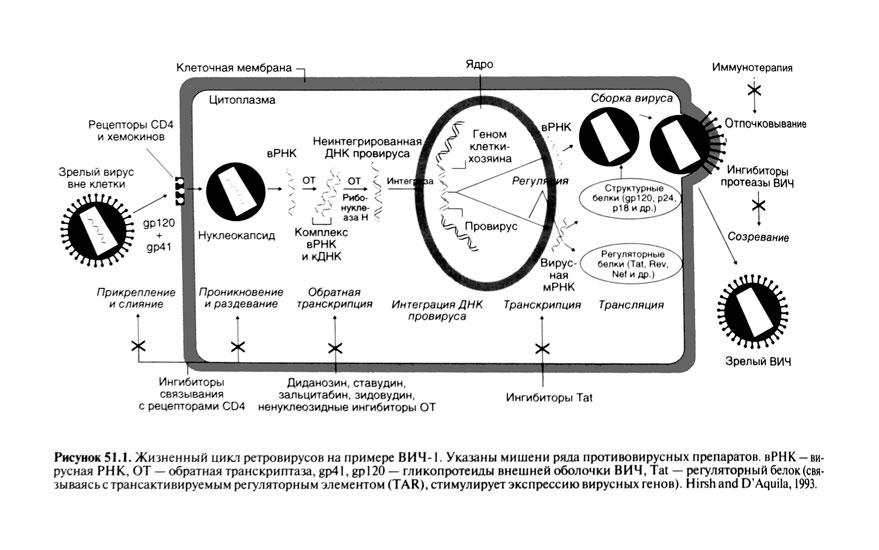 Жизненный цикл ВИЧ[править]