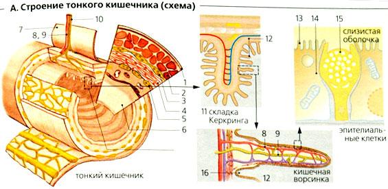 тонкого кишечника[править]