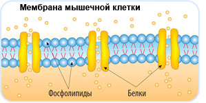 Файл:Phospholipids.jpg