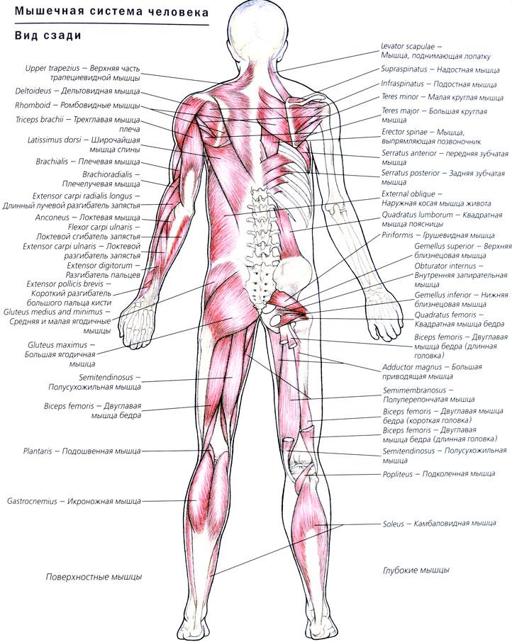 Строение глаза человека: анатомия 46
