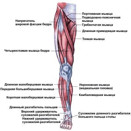 мышцы ног название фото