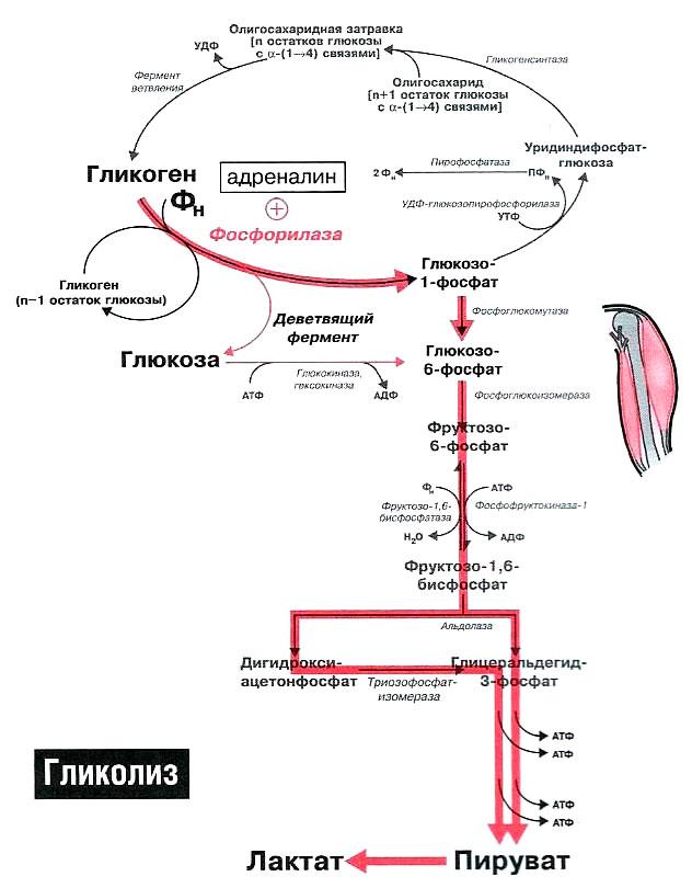 Гликоген при оргазме