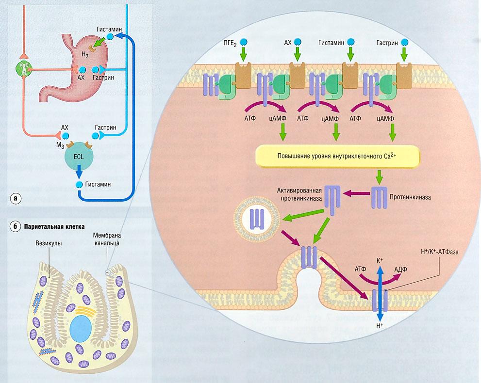 Ингибитор Протонного Насоса
