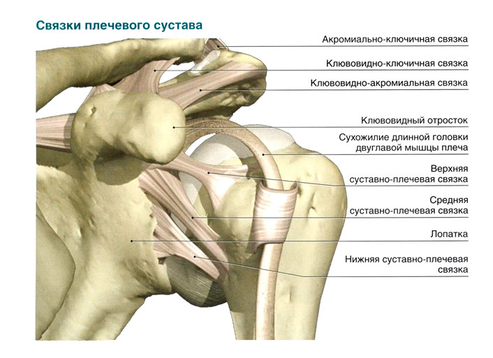 Через полость плечевого сустава проходит сухожилие почки и воспаление суставов