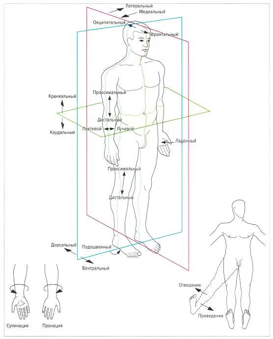 коленные суставы у шпица