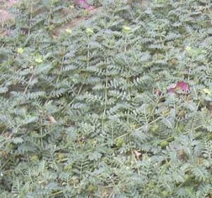Растение Трибулус террестрис